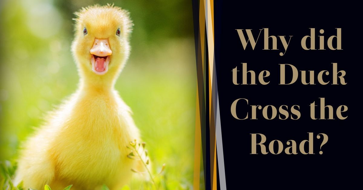 Read more about the article Why Did The Duck Cross The Road?